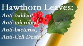 Poulin Chiropractic of Herndon and Ashburn shares new research regarding the flavonoids of the hawthorn tree leaves' extract that are antioxidant, antibacterial, antimicrobial and anti-cell death.